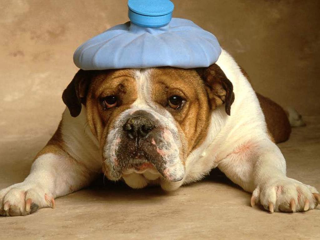 Пёсик с грелкой на голове 1024x768 112KB Собачки