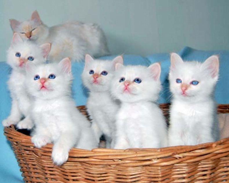 Фото котят белого цвета