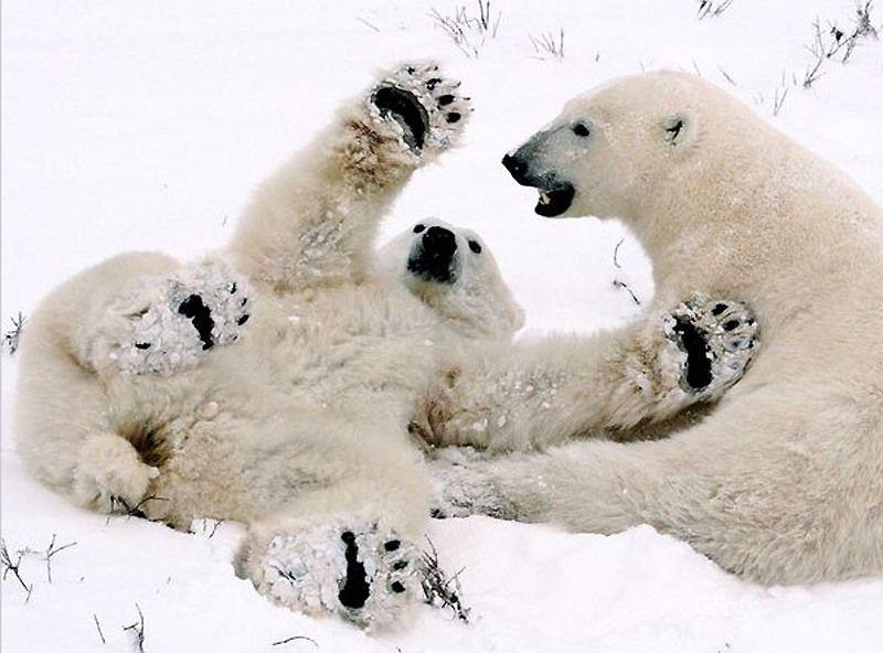 Белые медведи на снегу 800x592 69KB Животные романтика