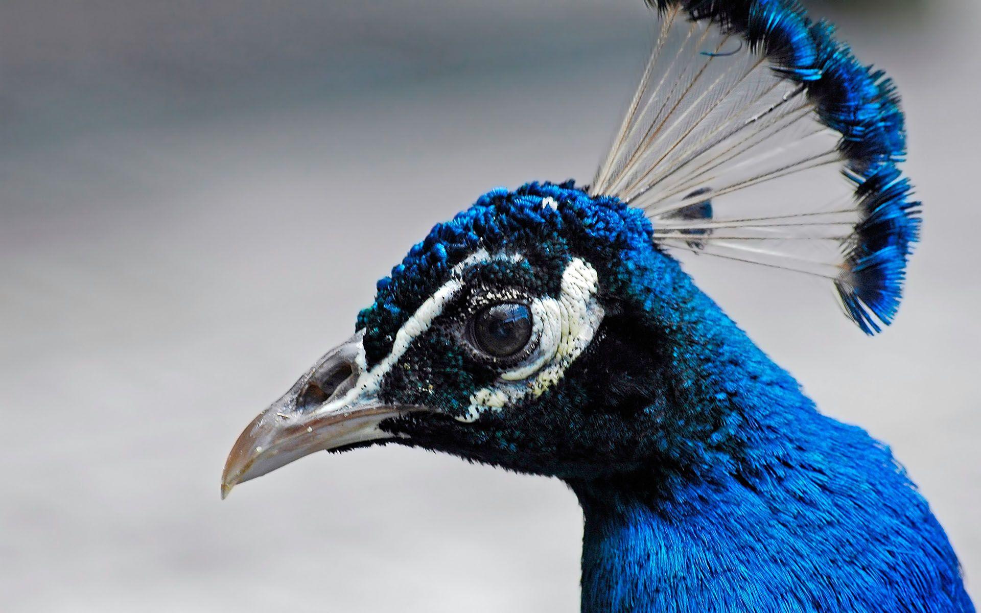 Синяя птица 1920x1200 244KB Птицы