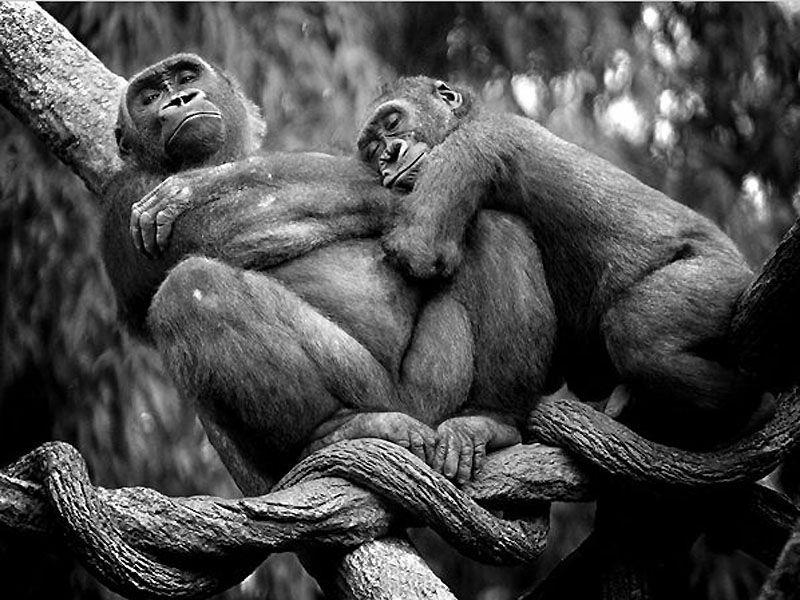 Отдых шимпанзе 800x600 109KB Животные романтика