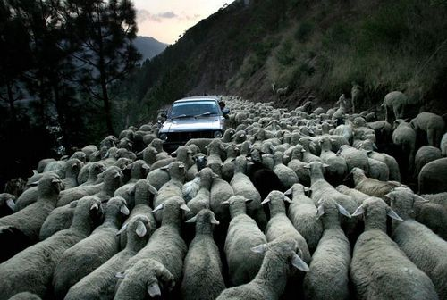 Стадо овец и автомобиль 500x336 42KB Разное