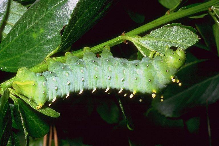 Зелёная гусеница 768x512 80KB Насекомые
