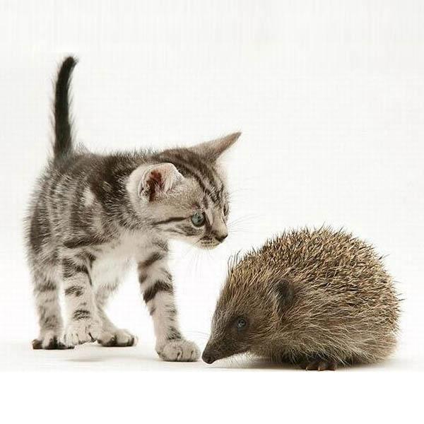 Обои и картинки 600x600 71KB Кошки, котята